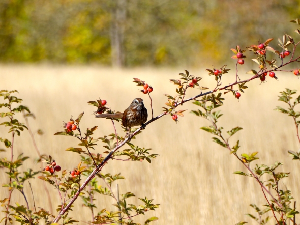 Sparrow on rose bush in autumn