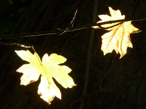 Two pale yellow maple leaves against black background