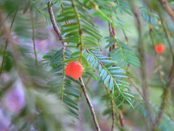 Yew tree branches and berries