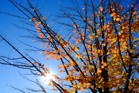 Sun, blue skies, orange maple leaves and some bare branches