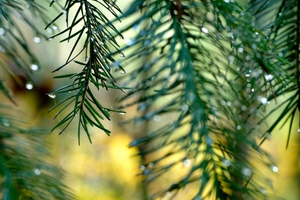Douglas-fir needles with raindrops