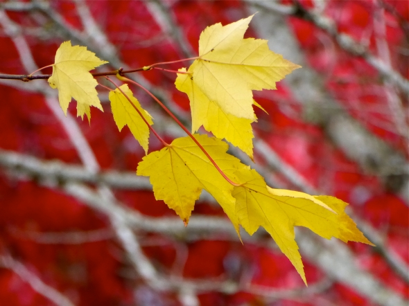 Yellow maple leaves against red and white leafy background