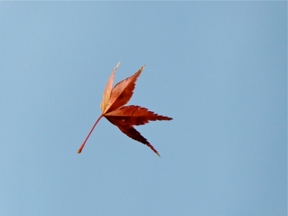 Red leaf falling against blue sky
