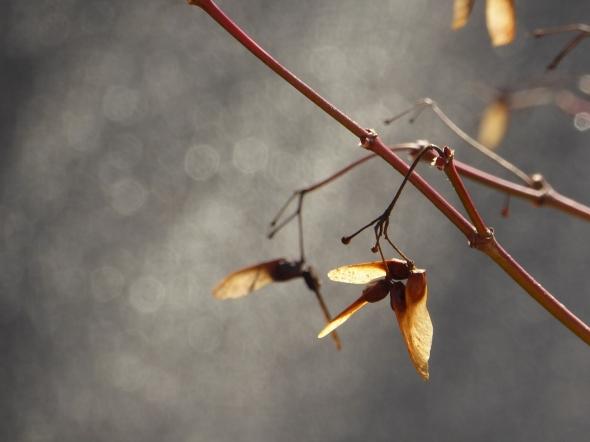 Maple samaras against a grey background