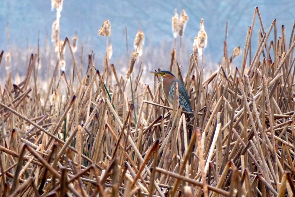 P1060079-GreenHeron-AlbanyOR-26Feb2016