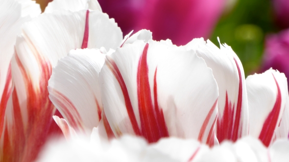 Red and White Tulips Close Up at Eye Level