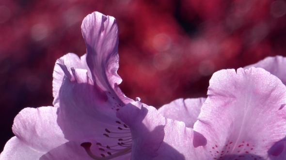 Backlit Lavender Rhododendron Blossoms with Red Background