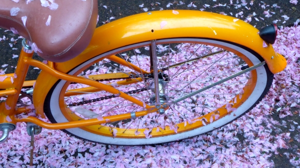 Orange bicycle and cherry petals on ground