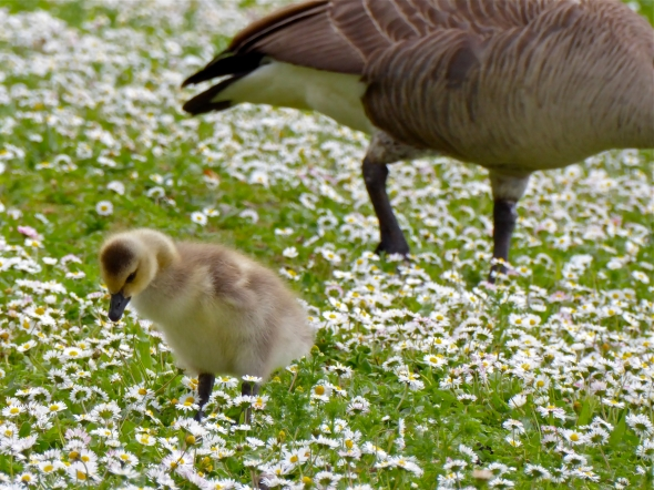 P1070236-Gosling-EugeneOR-18May2016