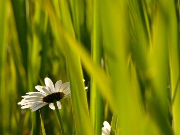 Daisy flower among green blades of grass