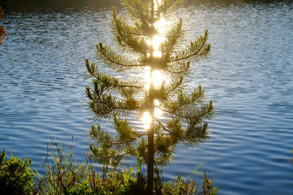 Small pine tree on lakeshore backlit by sunset