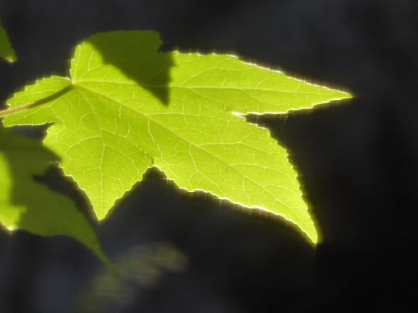 Glowing green backlit leaf against black background