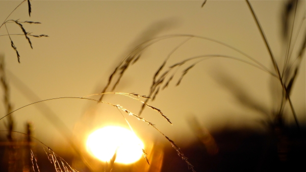 Golden grass seedheads in front of setting sun