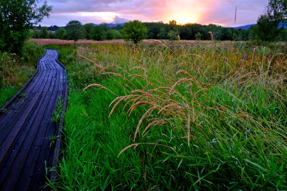 Boardwalk through green marsh grasses with bright western sky