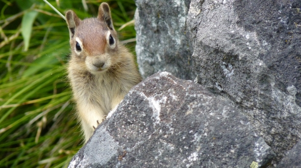 Ground Squirrel Poised on Rock