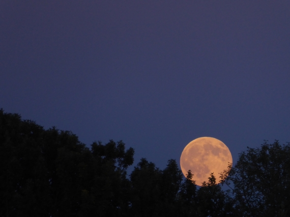 Full moon rising out of treetops at dusk