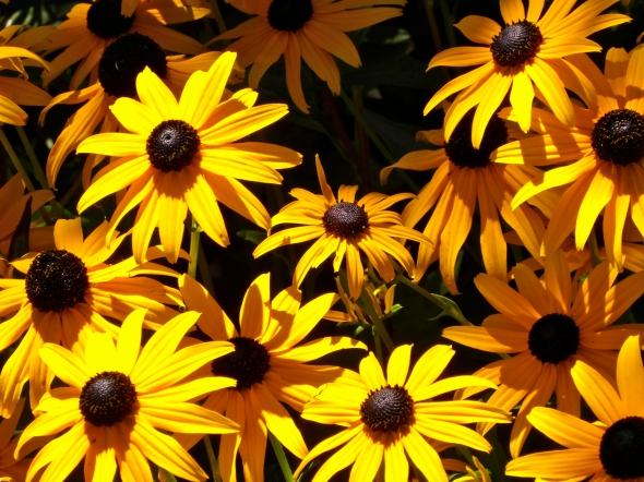Sunlit yellow black-eyed susan flowers against dark background