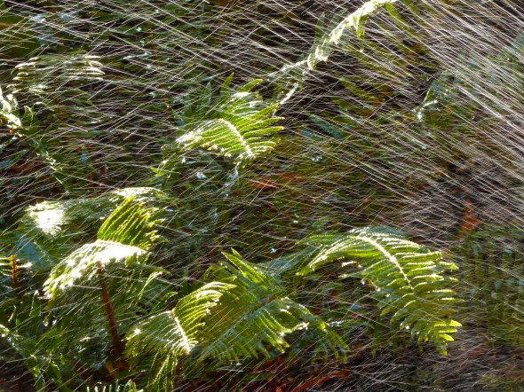 Water from sprinkler splashing on green ferns
