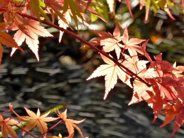 Pink Japanese maple leaves against a dark background
