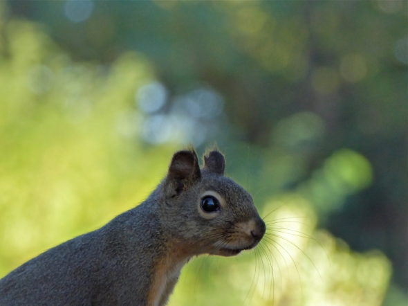 Head and back of douglas squirrel against sunlit green background