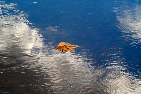 Yellow Leaves floating on water in reflections of blue sky and white clouds
