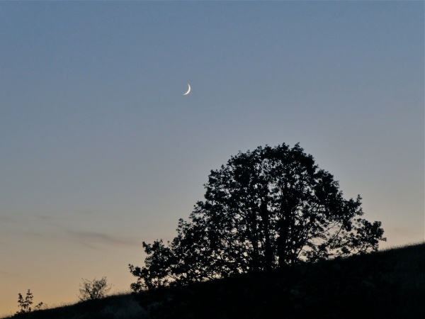 Crescent moon setting over silhouetted oak tree on sloping hillside