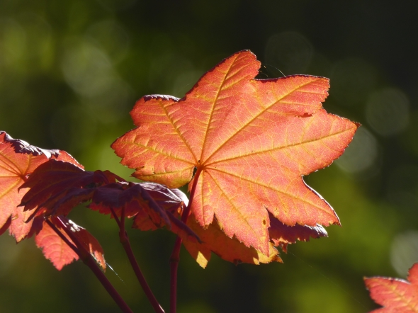 Backlit red maple leaf against green background