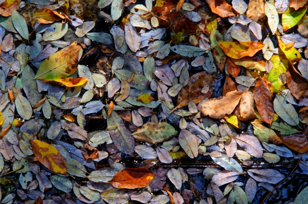 Colorful autumn leaves floating in small creek