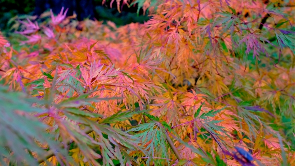 Close-up of red, orange, yellow, green and purple laciniated Japanese maple leaves