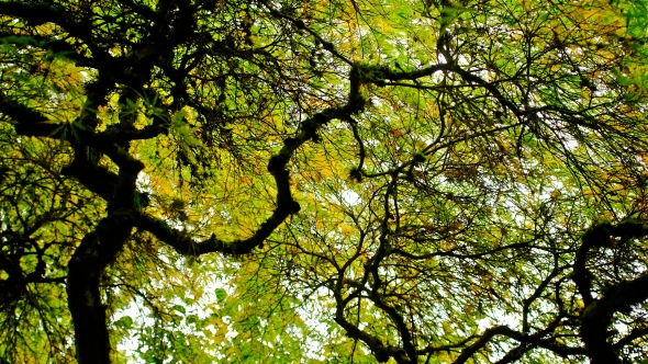 View looking skyward from beneath Japanese maple with gnarled branches and green and yellow leaves
