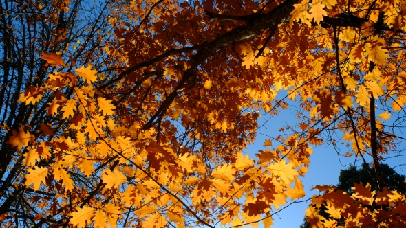 Many orange oak leaves and branches viewed from below against a clear blue sky