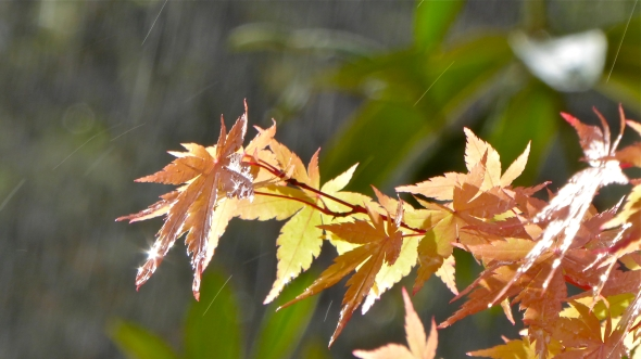 Sun sparkling on wet orange and yellow maples leaves in falling rain