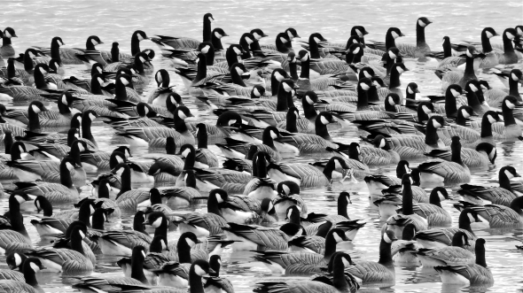 Flock of several dozen black-and-white Canada geese floating in pond