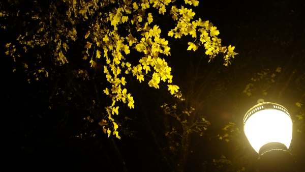 Yellow maple leaves at night brightly lit by a streetlight
