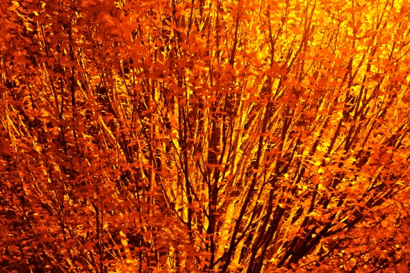 Shrubby tree with hundreds of orange leaves on black branches at night