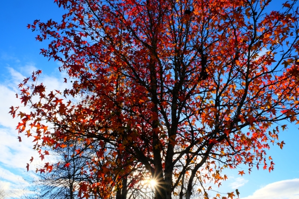 Starburst sun and blue sky behind bright orange-leaved sweetgum tree