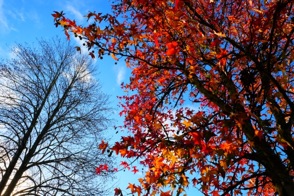 Orange foliage on sweetgum tree and bare tree in background against blue sky