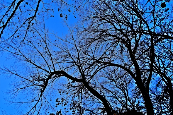 Many black, bare curved branches outlined against a very blue sky