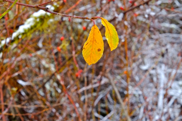 Two yellow leaves hanging on a branch in front of brambles, rosehips and snow