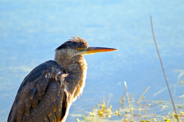 Great blue heron in sunny marsh