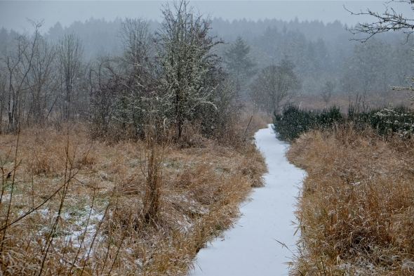 Snow falling and snowy, white trail leading away through meadow toward forest in background