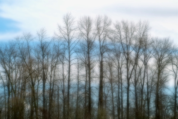 Row of tall, thin, bare trees backed up by bands of blue sky and white clouds