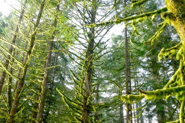 Rim lighting on green moss covered branches of Douglas-fir trees