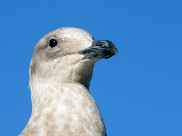Seagull's head and neck with blue sky in background