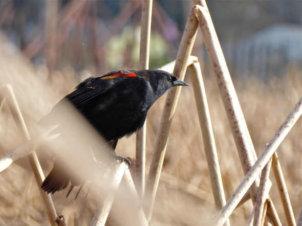 Profile of red-winged blackbird perched on dried cattails in marsh