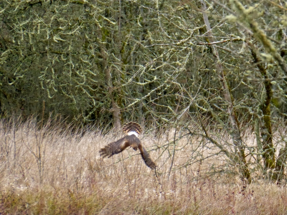 Northern harrier diving into grassland with wings outspread