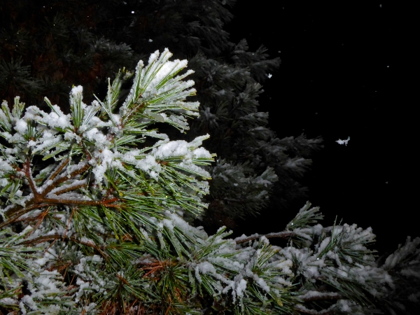 Snowy pine needles at night