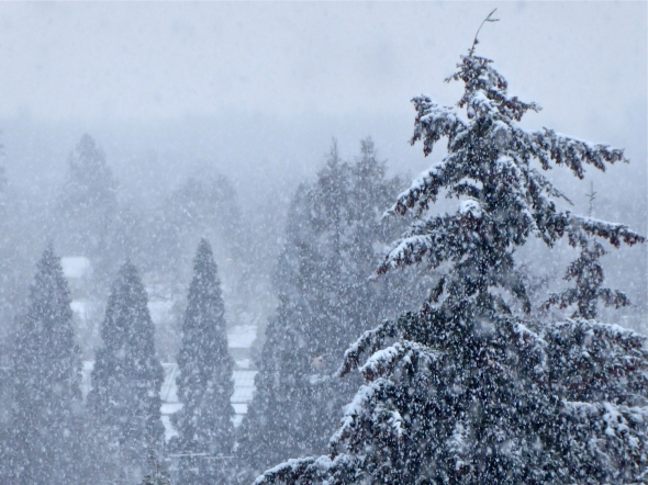 Heavy snow falling among large evergreen trees in town