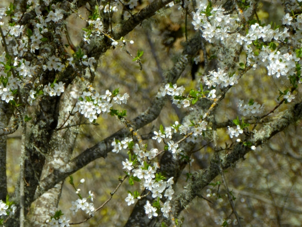 White cherry blossoms, new leaves and branches