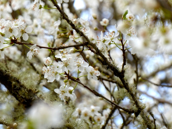 White cherry blossoms and small branches covered in lichen